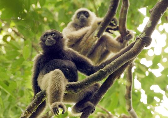Gibbons - The Lesser Ape
