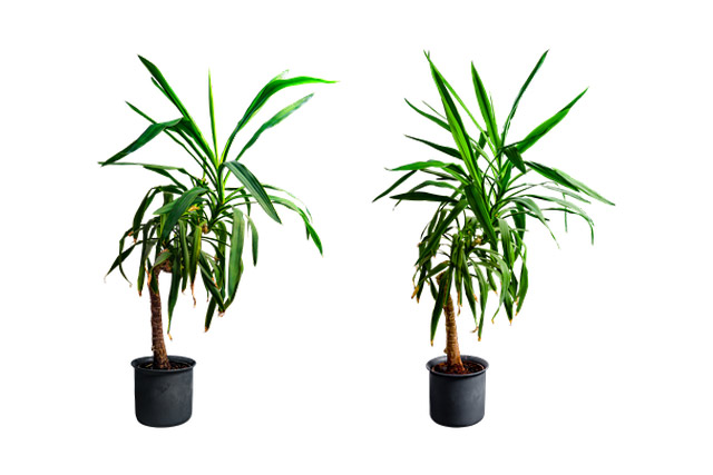 Yucca palm indoor tree