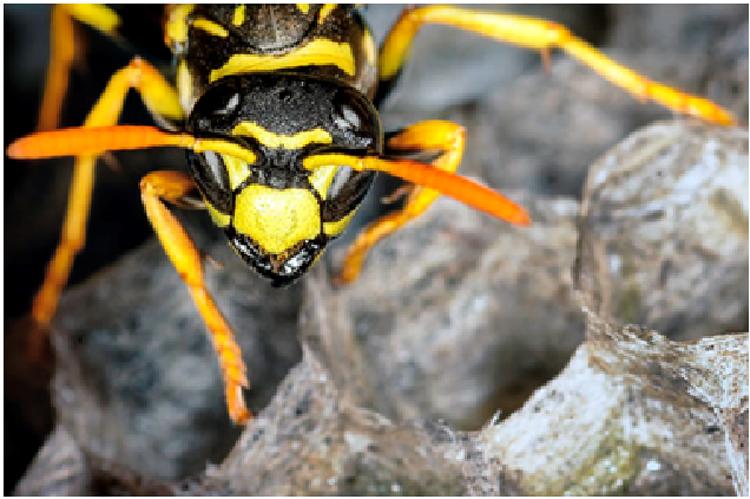 Visible Wasp Nests